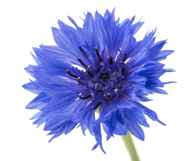 Mooie blauwe die korenbloem op witte achtergrond wordt geïsoleerd Selectieve nadruk stock foto's