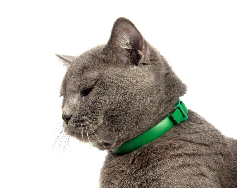 mooie blauwe grijze Britse kat die op het wit wordt geïsoleerd royalty-vrije stock foto