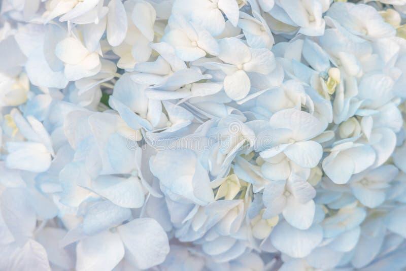 Mooie blauwe hydrangea hortensia'sbloemen in zachte kleur stock afbeelding
