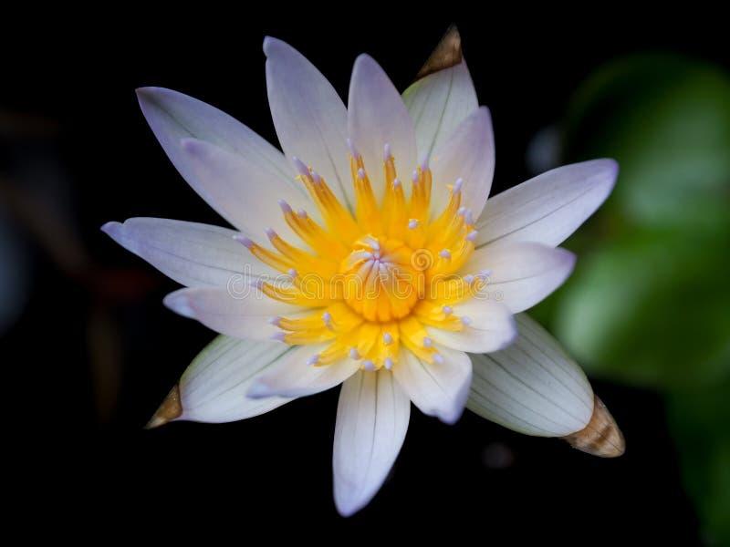 Mooie blauwe lotusbloem op zwarte achtergrond stock afbeeldingen