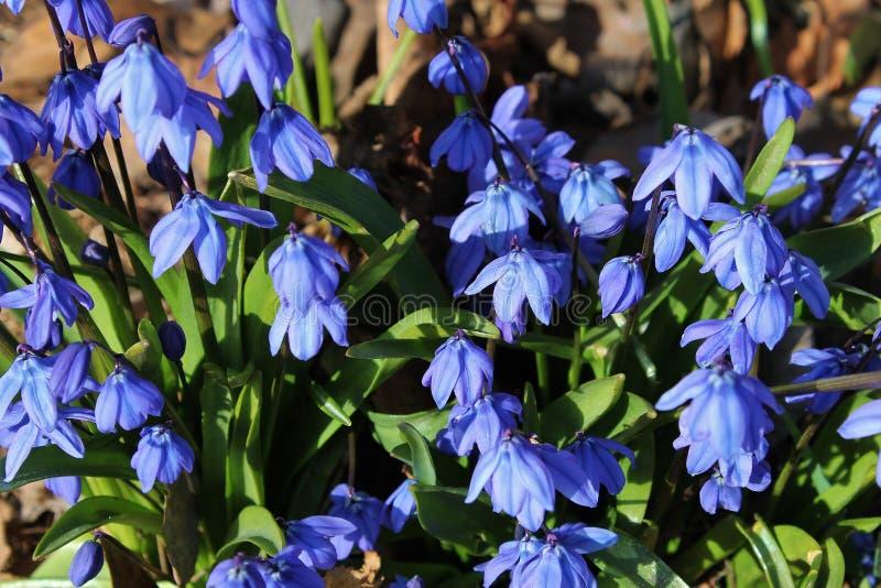 Mooie blauwe scilla royalty-vrije stock foto's