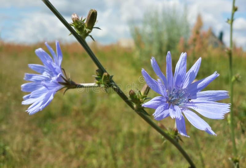 Mooie Blauwe Wildflowers stock fotografie