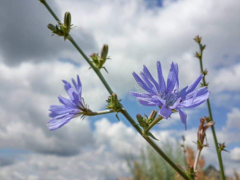 Mooie Blauwe Wildflowers stock foto