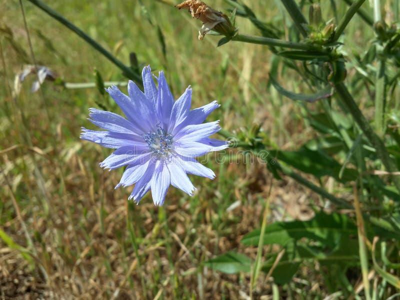 Mooie Blauwe Wildflowers stock afbeeldingen