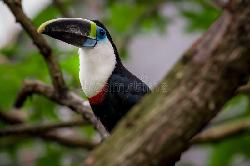 Mooie blauwgroene rode witte zwarte toekanvogel stock afbeeldingen