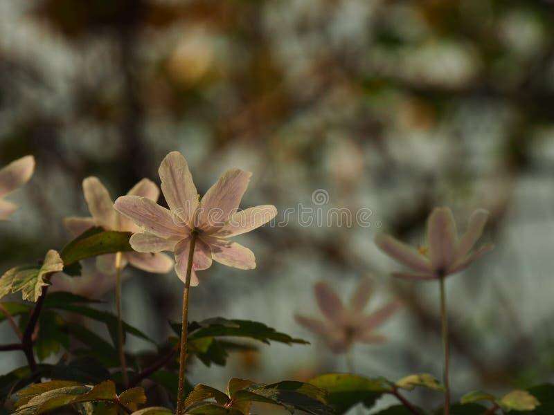 Mooie bleek - het roze bloemen toenemen stock afbeeldingen