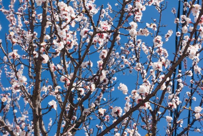 Mooie bloeiende abrikozenboom en blauwe duidelijke hemel stock afbeeldingen