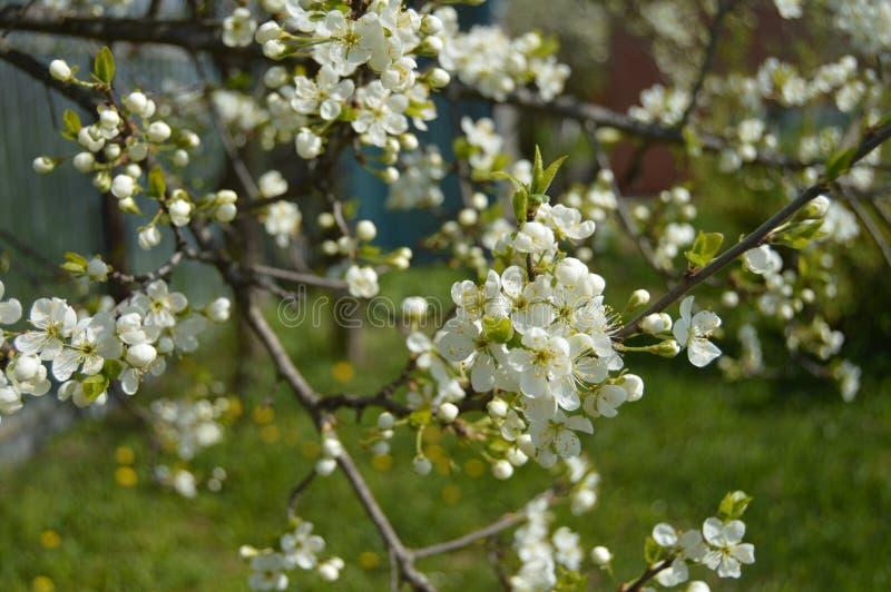 Mooie bloeiende appelboom in de lentetuin stock foto