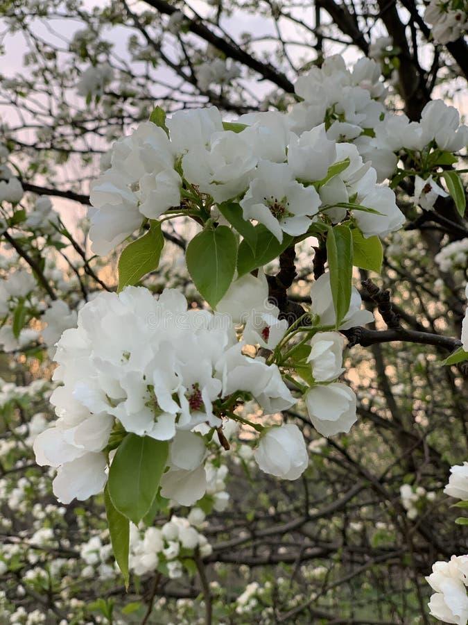 Mooie bloeiende appelboom stock foto's