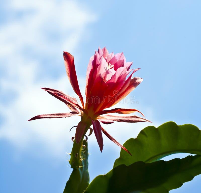 Mooie bloeiende cactus in detail royalty-vrije stock fotografie