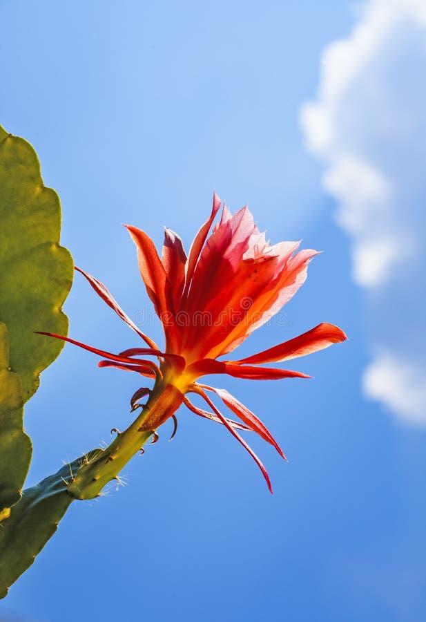 Mooie bloeiende cactus in detail stock afbeeldingen