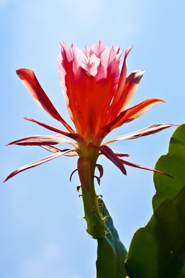 Mooie bloeiende cactus tegen het licht royalty-vrije stock foto's