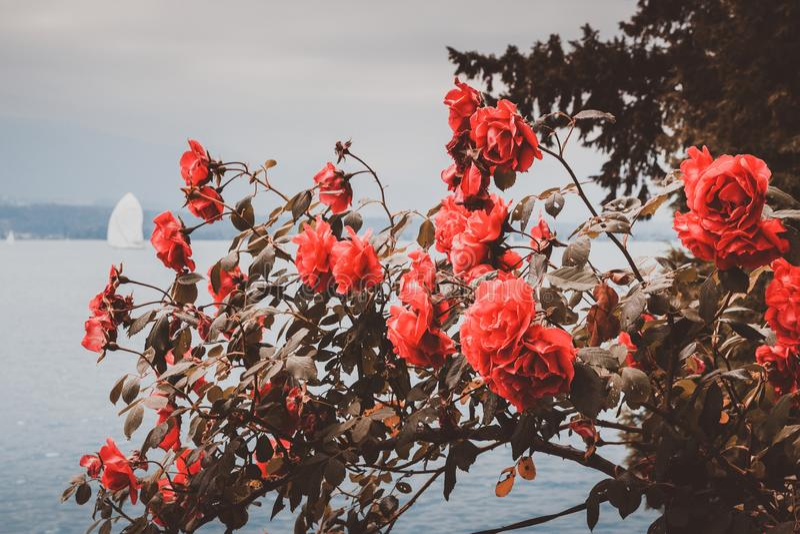 Mooie bloeiende close-up rode bloemen in tuin, de zomerachtergrond royalty-vrije stock afbeelding