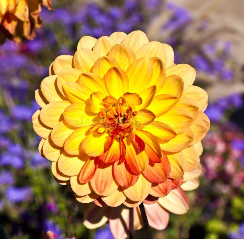 Mooie bloeiende dahlia stock foto