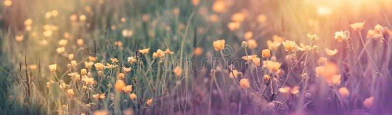 Mooie bloeiende de lentebloem - boterbloemenbloem in de lentetijd stock foto