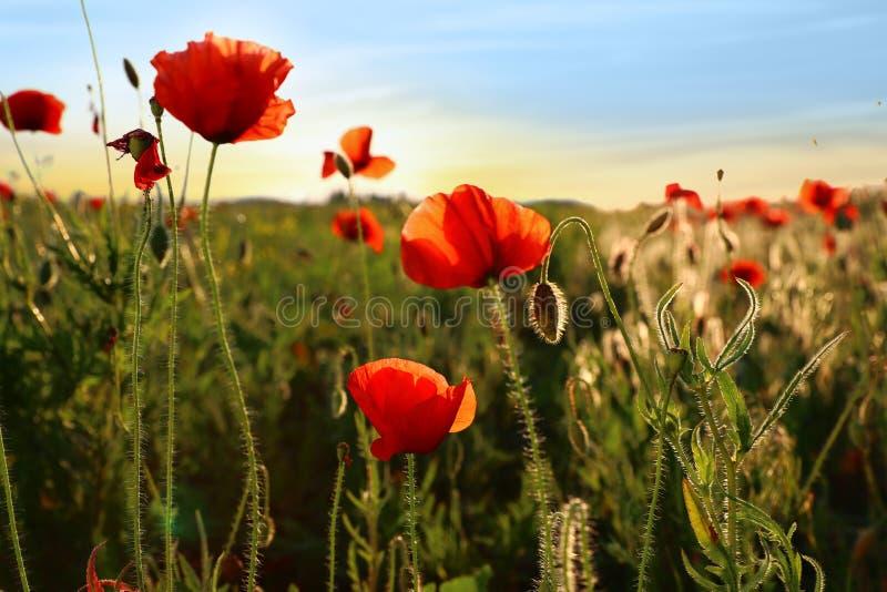 Mooie bloeiende rode papaverbloemen op gebied royalty-vrije stock afbeelding