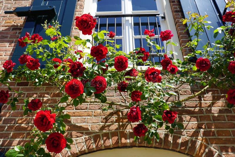 Mooie bloeiende rode rozen in lente, die een zonnige voorgevel van een huis in Holland de beklimmen stock foto's
