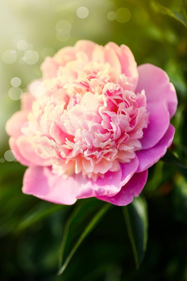 Mooie bloeiende roze pioenen stock afbeelding