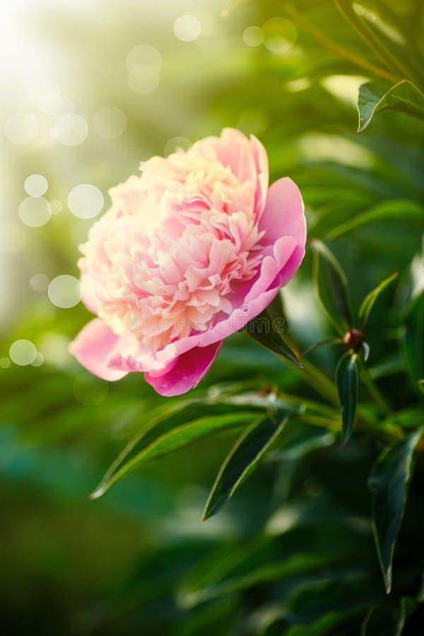 Mooie bloeiende roze pioenen stock foto's