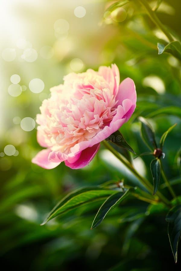 Mooie bloeiende roze pioenen royalty-vrije stock afbeeldingen
