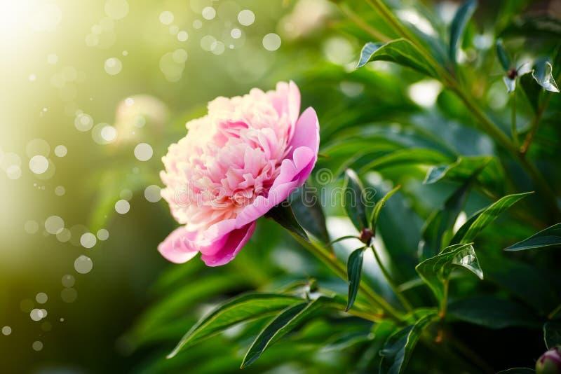 Mooie bloeiende roze pioenen royalty-vrije stock fotografie