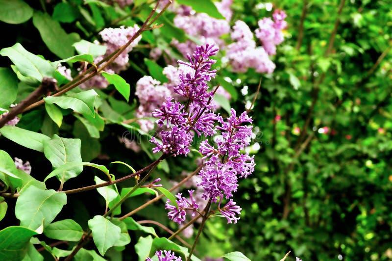 Mooie bloeiende seringentakken in de de lentetuin royalty-vrije stock fotografie