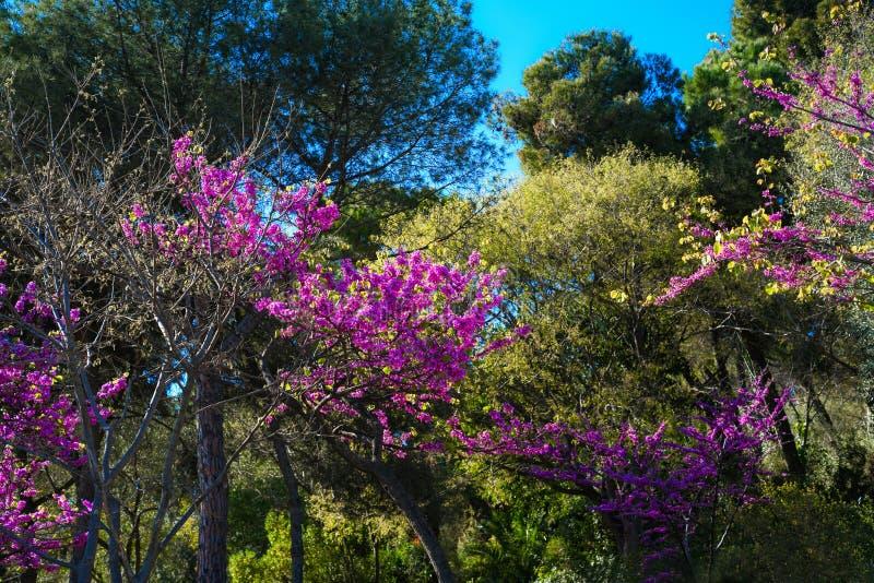 Mooie bloeiende tuin met roze, fuchsiakleurig, purpere bloemen stock afbeelding