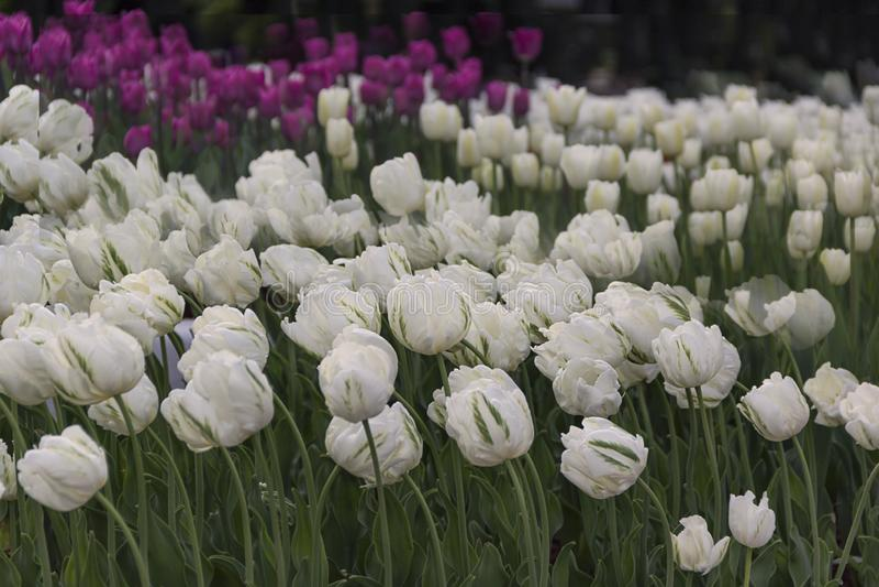 Mooie bloeiende tulpen in de tuin op de lenteachtergrond stock foto