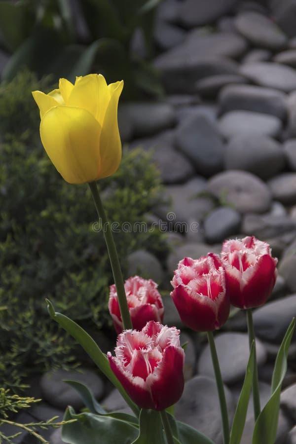 Mooie bloeiende tulpen in de tuin op de lenteachtergrond stock foto's