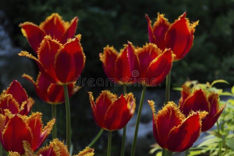 Mooie bloeiende tulpen in de tuin op de lenteachtergrond stock fotografie