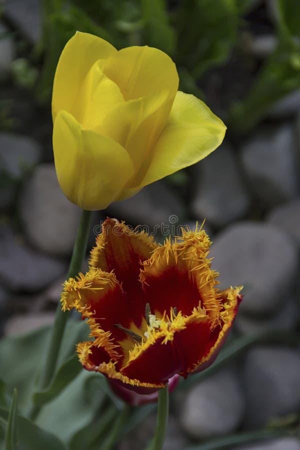 Mooie bloeiende tulpen in de tuin op de lenteachtergrond royalty-vrije stock afbeeldingen
