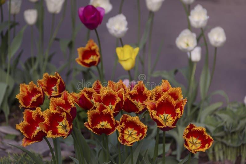 Mooie bloeiende tulpen in de tuin op de lenteachtergrond royalty-vrije stock fotografie