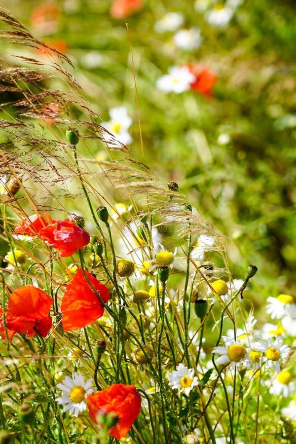 Mooie bloeiende weide met papavers en madeliefjes op een heldere zonnige de zomerdag royalty-vrije stock afbeelding
