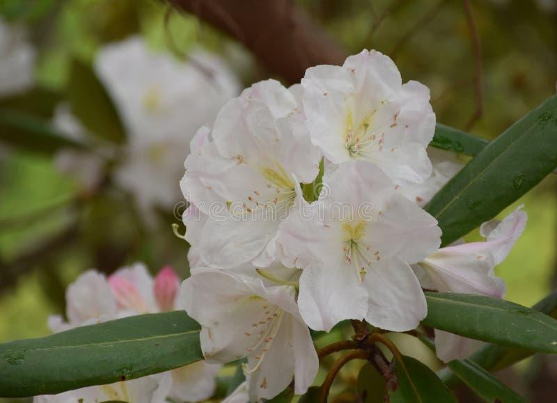 Mooie Bloeiende Witte en Lichtrose Rododendron Bush stock foto's