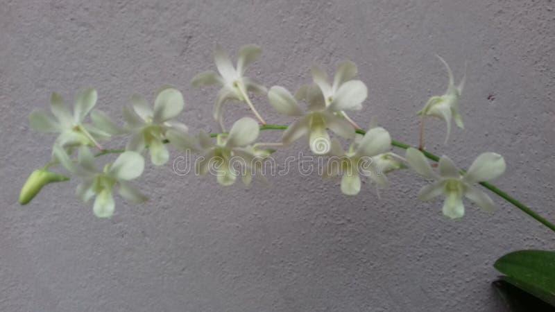 Mooie bloeiende witte orchideebloem stock foto