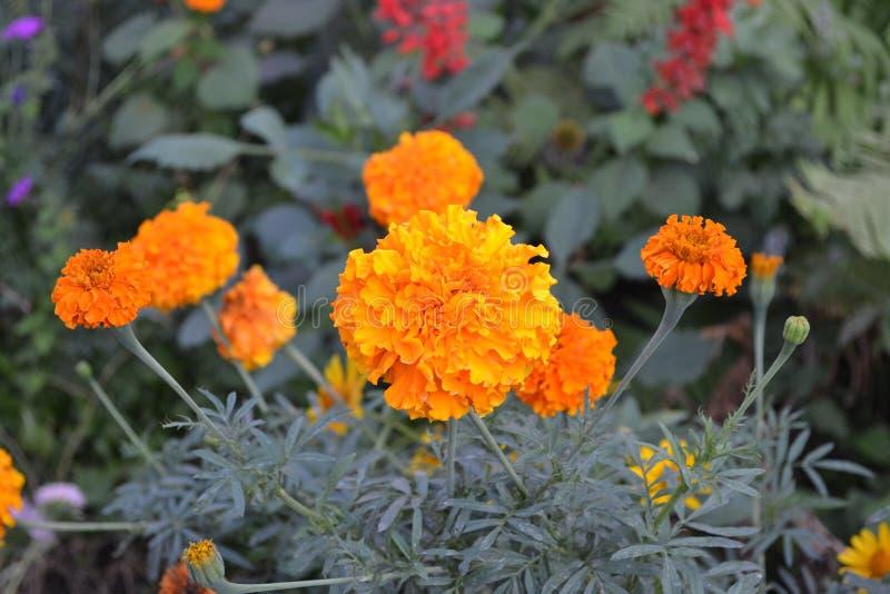Mooie bloem Barhatts erect, Tagetes erecta royalty-vrije stock afbeeldingen