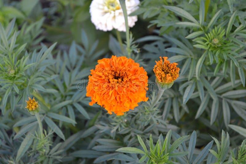Mooie bloem Barhatts erect, Tagetes erecta stock fotografie
