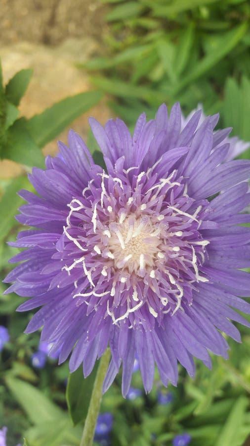 Mooie bloem in purpere kleur met meer bloemblaadjes royalty-vrije stock afbeelding