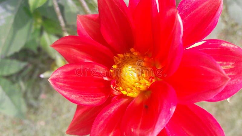 Mooie bloem in rode kleur stock foto's