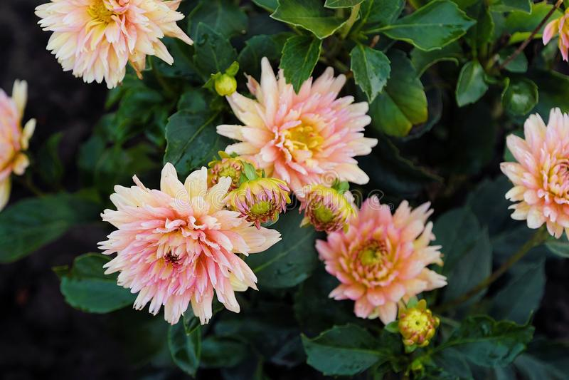 Mooie bloem roze Aster in de zomertuin stock fotografie
