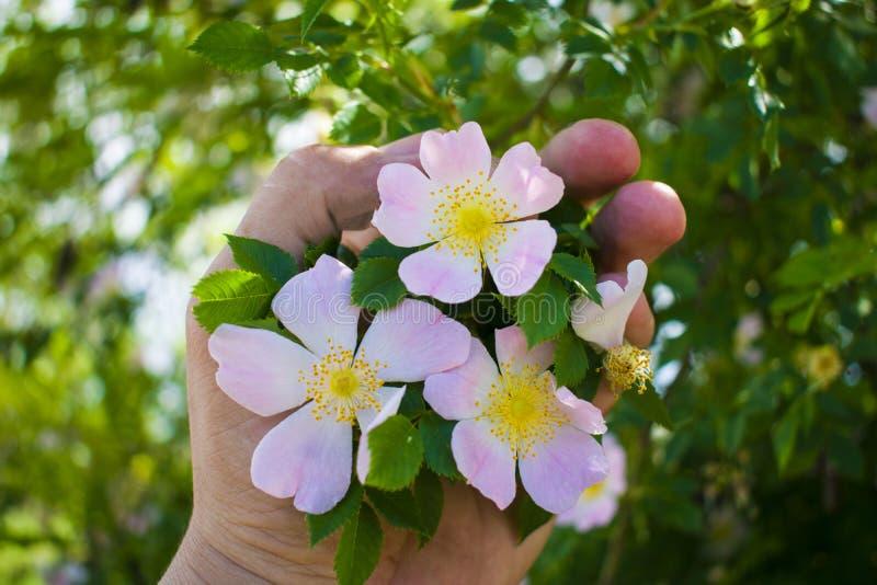 Mooie bloem tot bloei komende rozebottels tegen de blauwe hemeldelicatessenwinkel royalty-vrije stock afbeeldingen