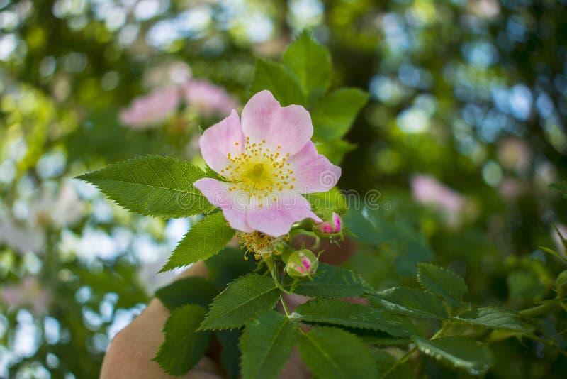 Mooie bloem tot bloei komende rozebottels tegen de Delicatessenwinkel van de buehemel stock afbeeldingen