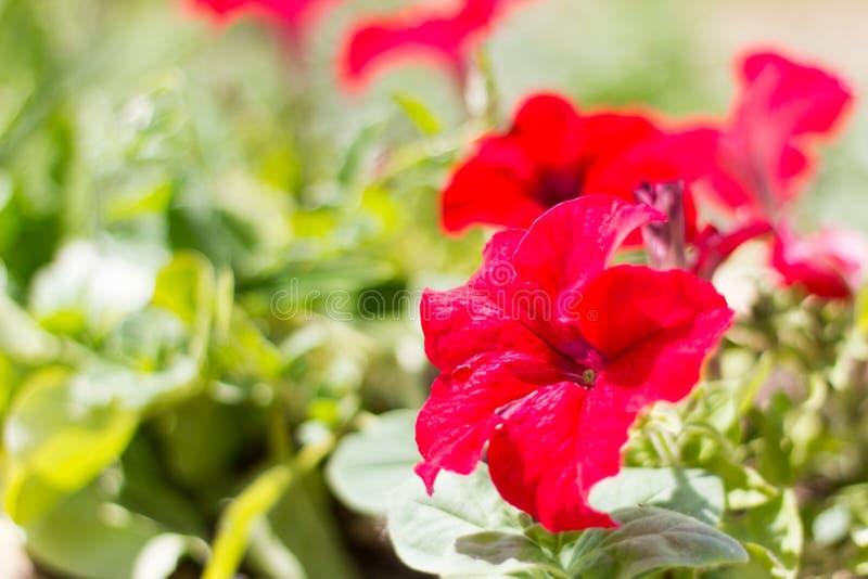 Mooie bloemen bloeiende rode petunia in de tuin stock foto's