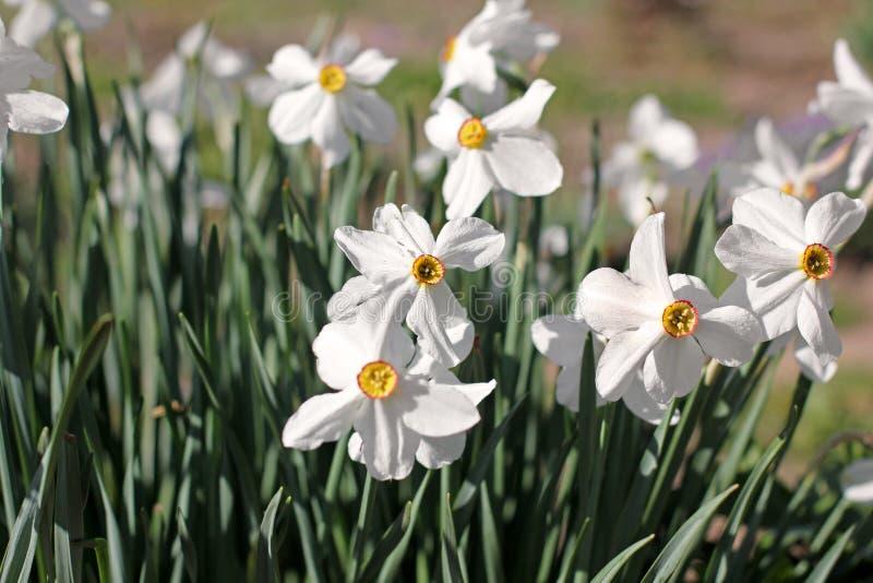 Mooie bloemen in de tuin daffodils stock afbeelding