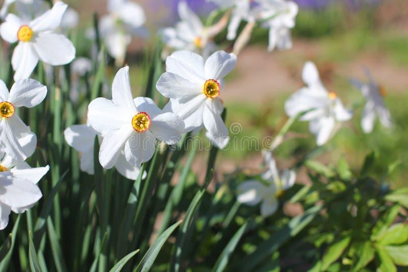 Mooie bloemen in de tuin daffodils royalty-vrije stock afbeelding