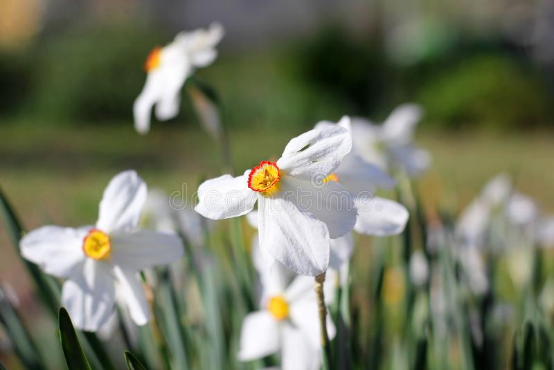 Mooie bloemen in de tuin daffodils royalty-vrije stock foto's