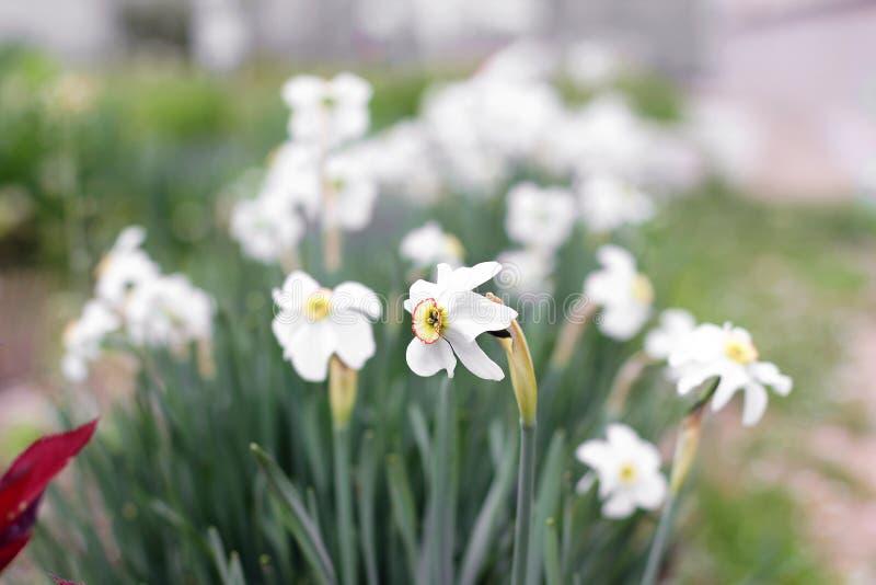 Mooie bloemen in de tuin daffodils stock foto's