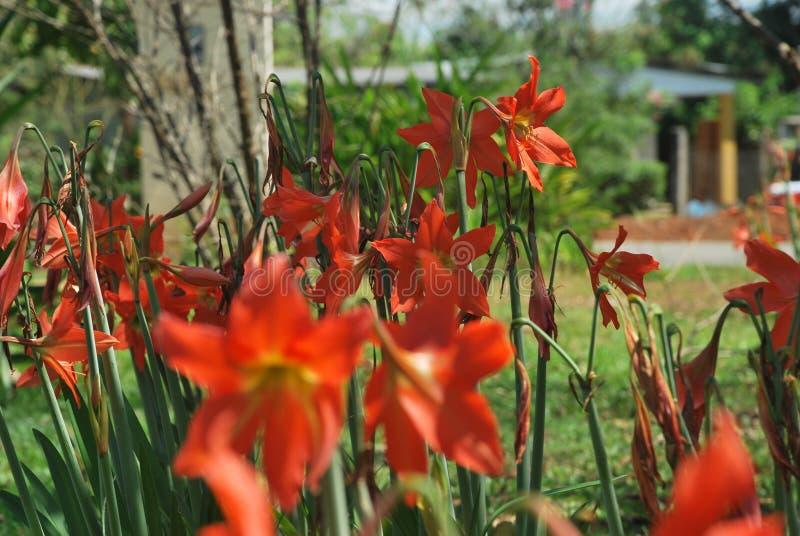 Mooie bloemen, die op een plattelandsgebied van †‹â€ ‹de Provincie van Panama worden gevangen stock fotografie