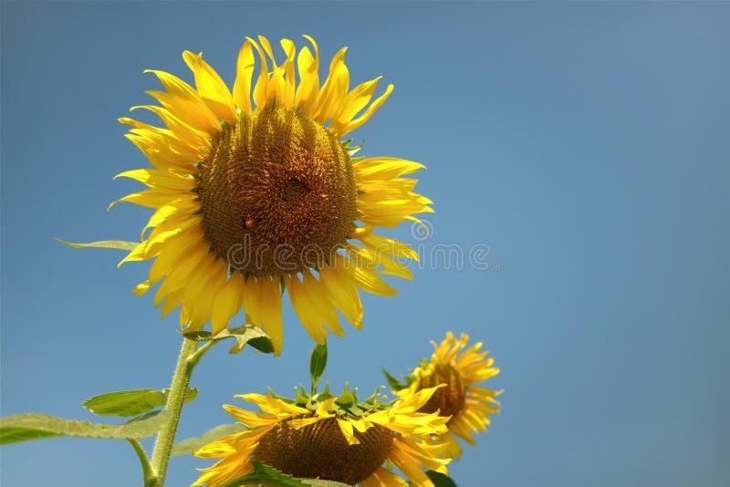 Mooie bloemen gele zonnebloemen in de zomer royalty-vrije stock fotografie
