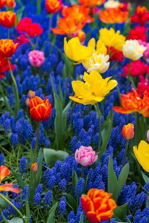 Mooie bloemen in Keukenhof-tuin, Holland royalty-vrije stock foto